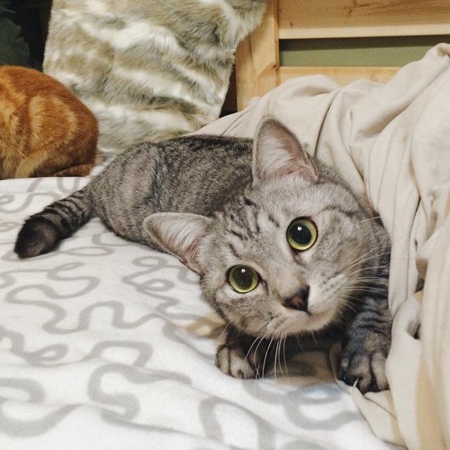 伏せたまま首をかしげて猫じゃらしを見ているサバトラ猫。
