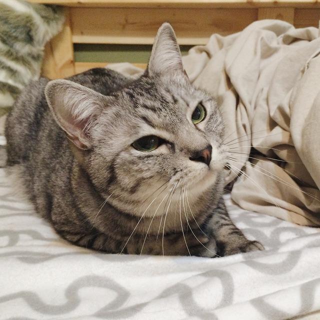 体を横に倒しかけているサバトラ猫。