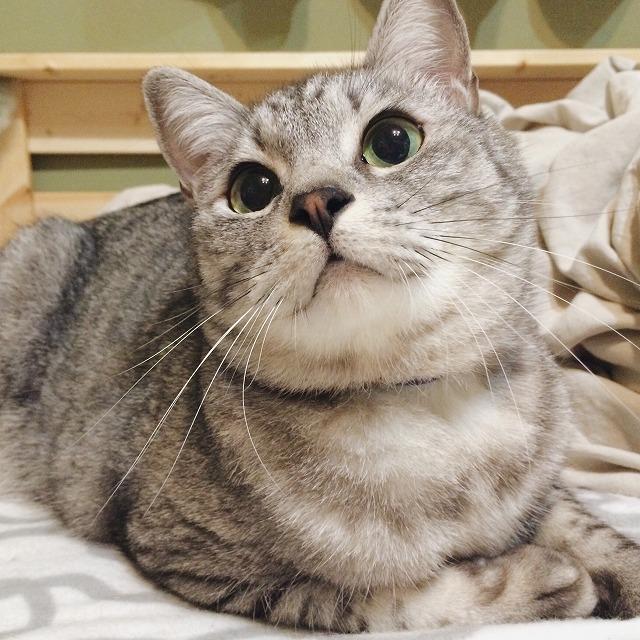 ぺたんと横ばいになって大きな瞳で猫じゃらしを見つめているサバトラ猫。
