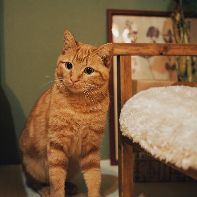 お座りをして首を少し傾げてキョトンとした顔をしている茶トラ猫。