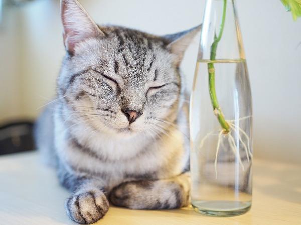 目をつぶってるサバトラ猫