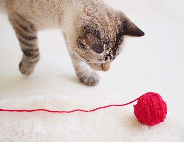 転がる毛糸玉を追いかけるシャムトラ猫