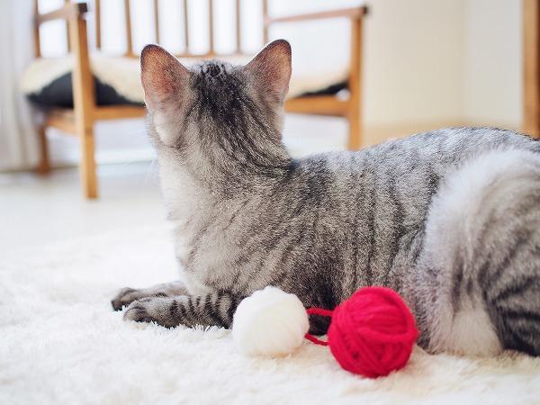 サバトラ猫の後頭部と小さな毛糸玉