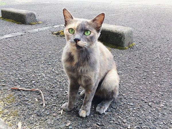 美猫に化けたタヌキ