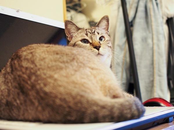 ノートパソコンの上に乗ってくつろいでいるシャムトラ猫