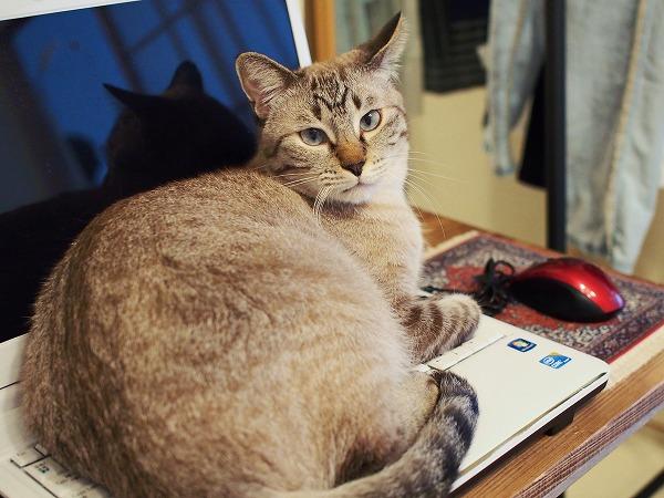 キーボード全面を覆い尽くしているシャムトラ猫