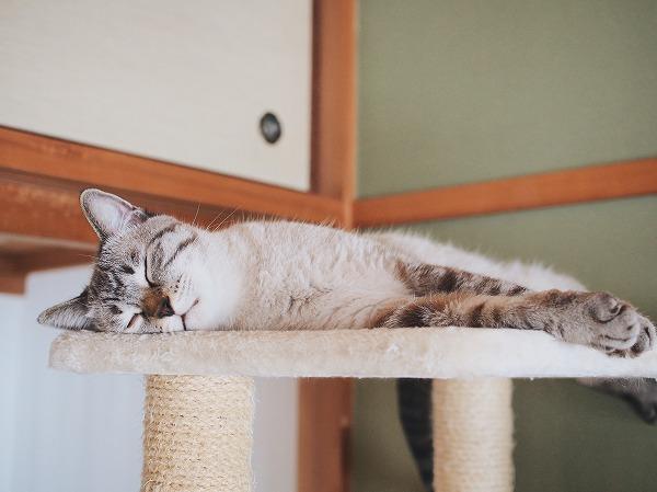 横になって完全に寝てしまったシャムトラ猫