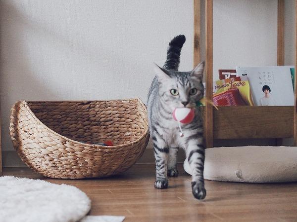 サバトラ猫、童心に返る