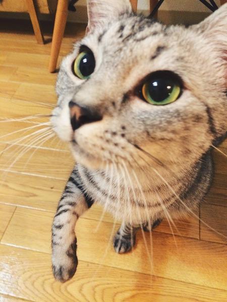 とびかかろうとしてるサバトラ猫の顔アップ