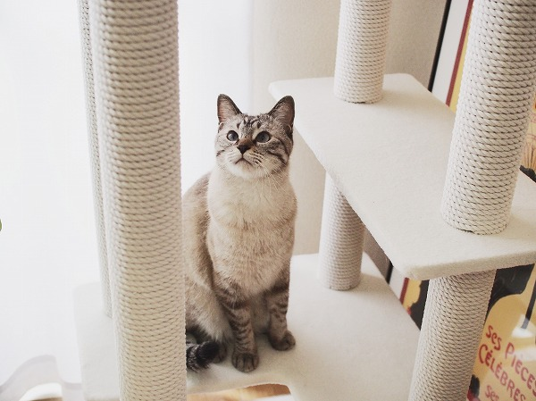 台もポールも真っ白なキャットタワーと白い胸毛のシャムトラ猫
