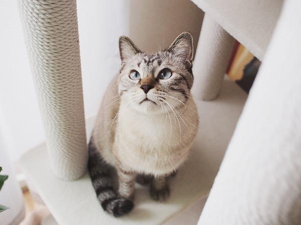 上を見上げているシャムトラ猫