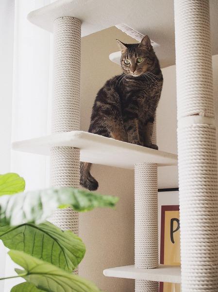 キャットタワーの上から下を見下ろしているキジトラ猫