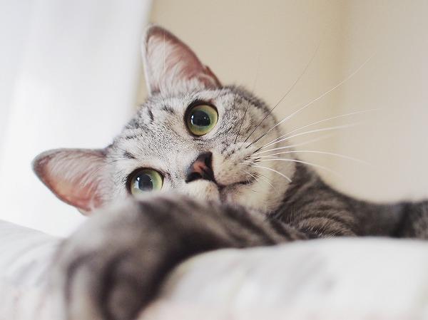 丸い目がかわいいサバトラ猫