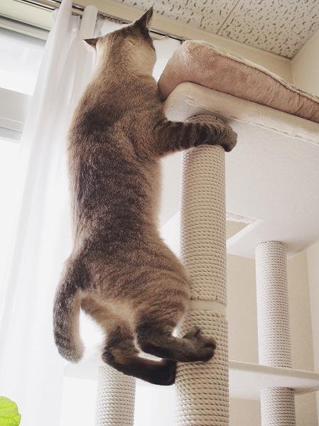 キャットタワーの支柱につかまって上までよじ登ろうとしているシャムトラ猫