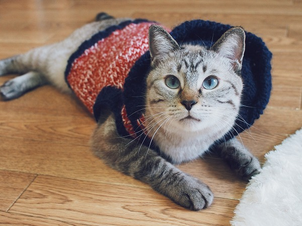 手編みの猫用セーターを着こなすオシャレ猫