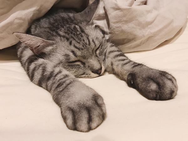 前足を伸ばしてふとんの中で寝ているサバトラ猫