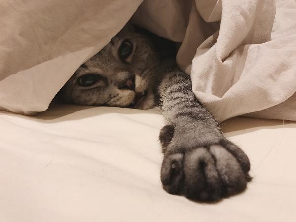 ふとんから出たくないサバトラ猫
