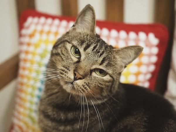 カメラに向かってガンを飛ばすキジトラ猫
