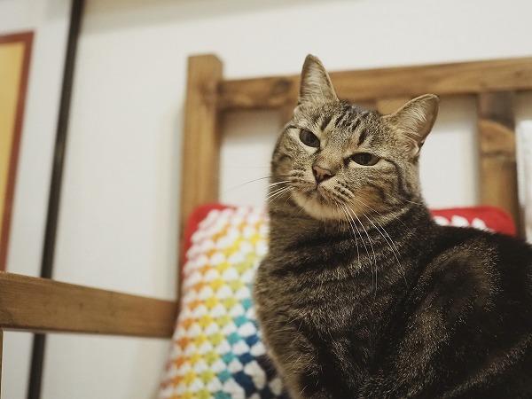 不機嫌そうな顔のキジトラ猫