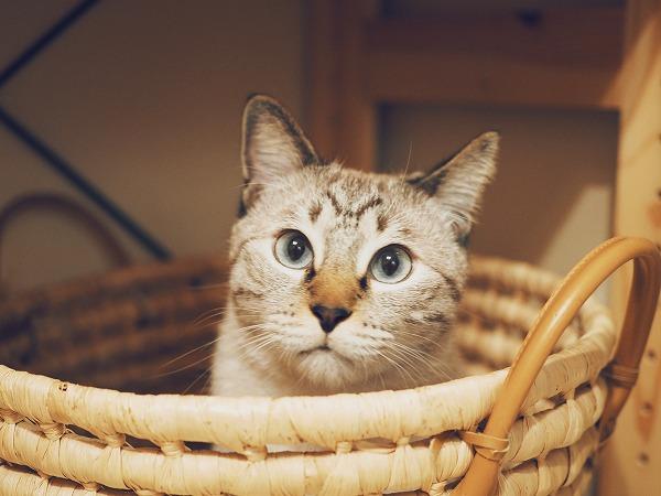 洗濯物用のラウンドバスケットの中に入ってこっちを見ているシャムトラ猫