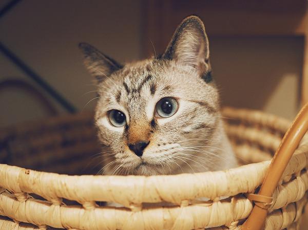 かごを見たら入りたくなっちゃうのが猫の性