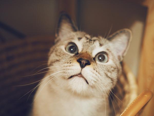 大きく目を見開いているシャムトラ猫