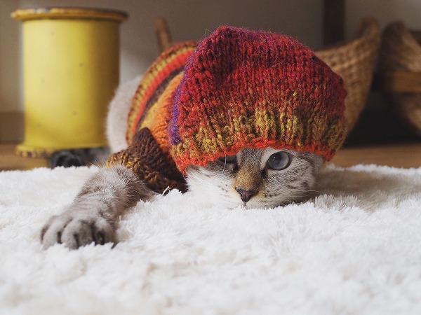 顔半分がフードで覆われたシャムトラ猫