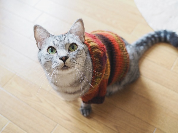 こちらを見上げているサバトラ猫