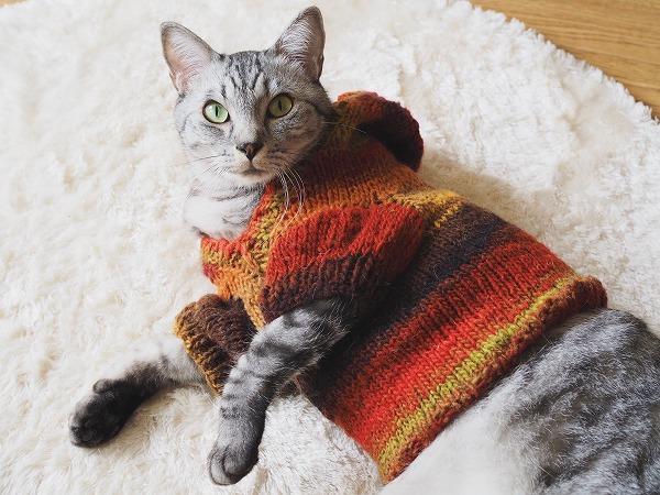 セーターを着たままカメラ目線を決めるサバトラ猫