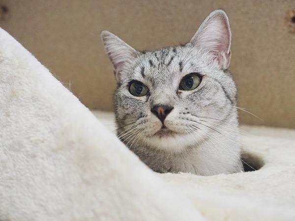 キャットタワーのハウスの穴から顔を出しているサバトラ猫