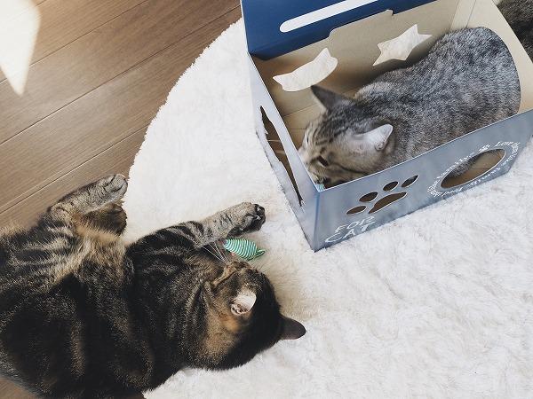 ねずみのおもちゃで戯れるサバトラ猫とキジトラ猫