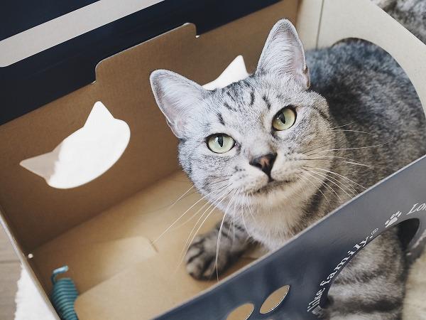 ダンボールハウスの穴に引っかかってるサバトラ猫