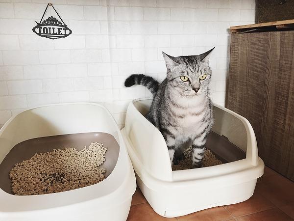 トイレで用を足すサバトラ猫