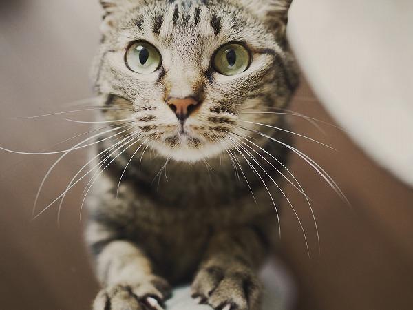 ニンゲンの脚に寄りかかって抱っこ待ちしてるキジトラ猫