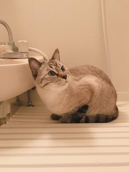 風呂フタの上で香箱を組むシャムトラ猫