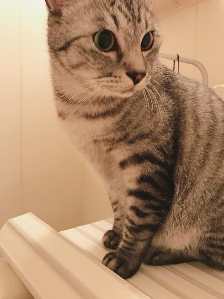 風呂フタの上のサバトラ猫