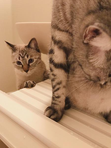 サバトラ猫の後ろで風呂フタに乗りたそうにしているシャムトラ猫