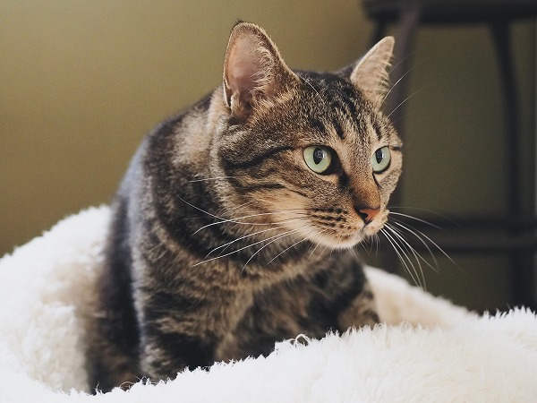 猫用寝袋の中にいるキジトラ猫