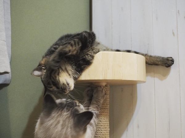 猫パンチで威嚇されている