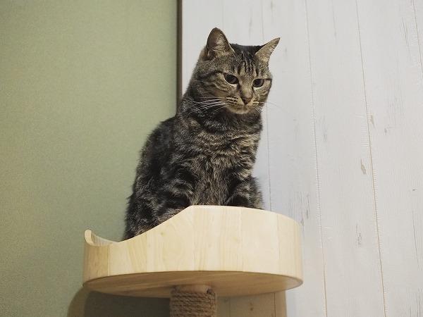 ミニスクラッチタワーの上にいるキジトラ猫
