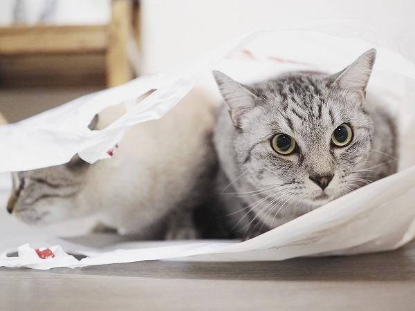 袋の中で真面目な顔をしているサバトラ猫
