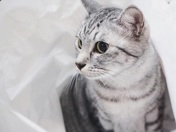 白い袋に包まれているサバトラ猫