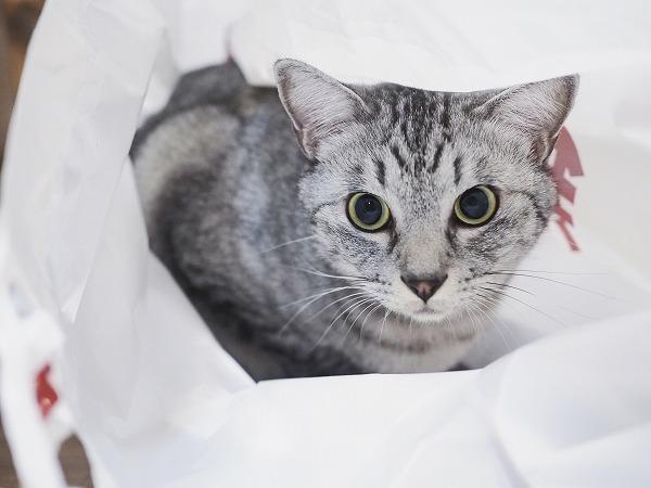 緊張して目が真ん丸なサバトラ猫