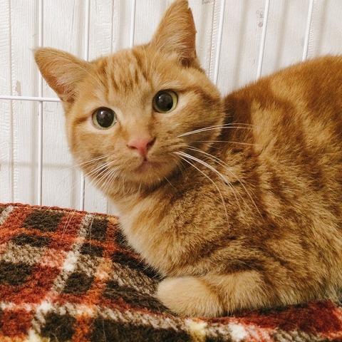 可愛らしい顔の茶トラ猫ミーちゃん