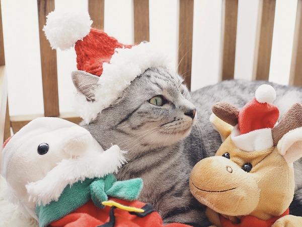 手編みのサンタ帽をかぶせられたサバトラ猫