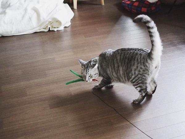 さっそくくわえて持って行こうとするサバトラ猫