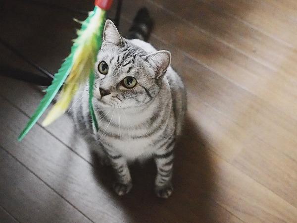 ダ・バードを目で追うサバトラ猫