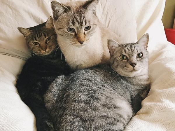 キジトラ猫とサバトラ猫の間にシャムトラ猫