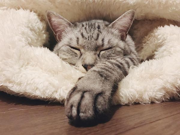 片方の前脚だけ伸ばして寝ているサバトラ猫
