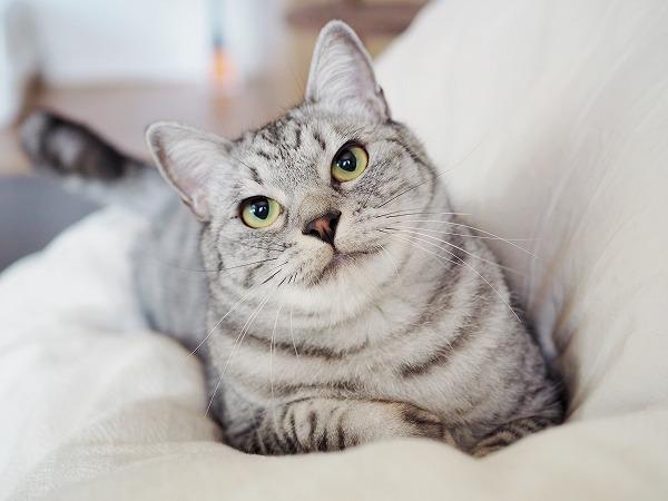 キメ顔のサバトラ猫